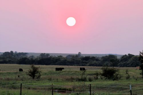 Sunset And Cows