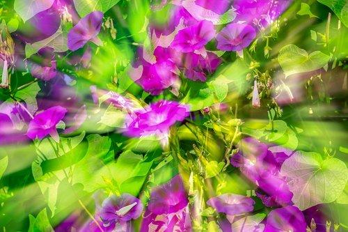 superb thread  morning glory  wind greenhouse