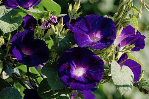 superb thread  violet  climber plant