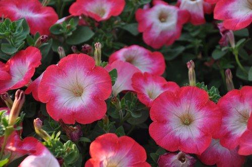 surfinie  petunia  flowers