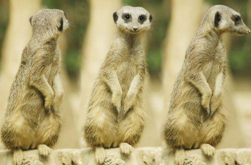 Suricate Or Meerkat Sitting