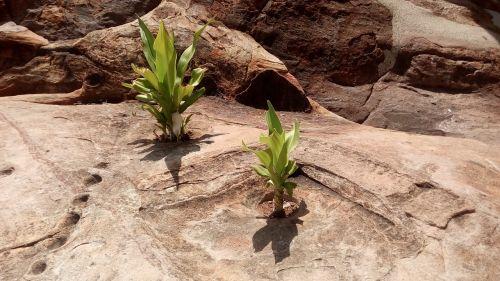 survive rocks plant