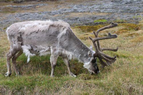 svalbard reindeer reindeer svalbard