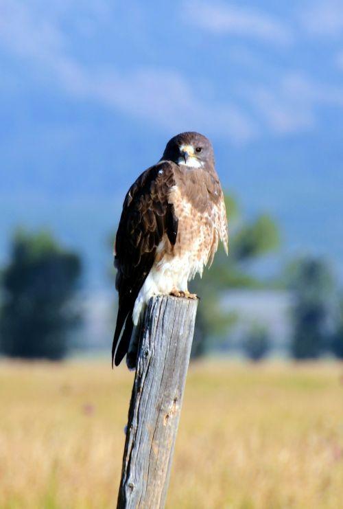 swainson's hawk bird hawk
