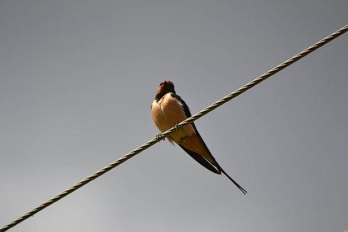 swallow  bird  wires