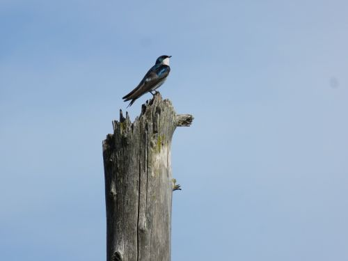 swallow tree swallow bird