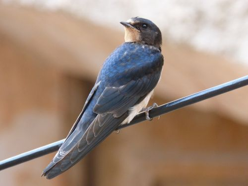 swallow cable bird