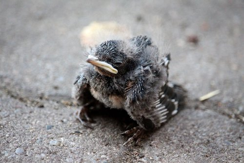 swallow chicks  helpless  small