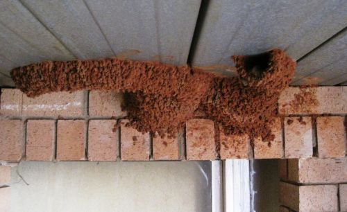 Swallow' Nests