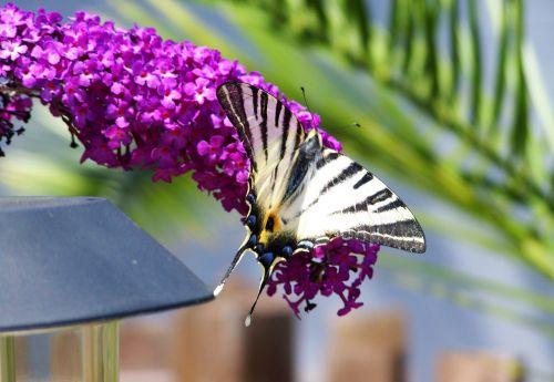 swallow-tailed butterfly insect animal