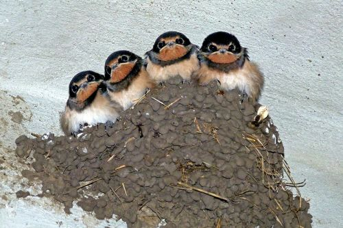 swallows swallow's nest bird