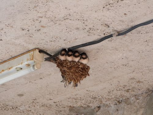 swallows bird nest