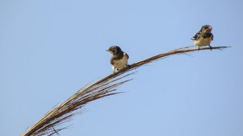 swallows resting branch