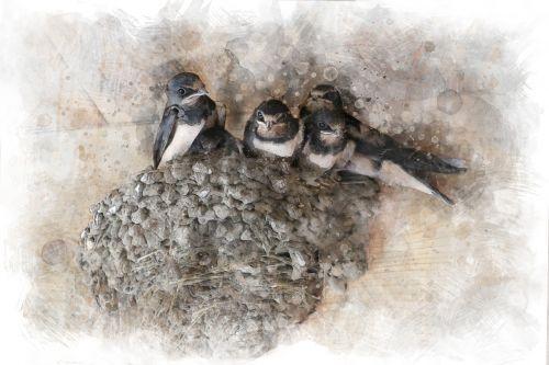 swallows chicks jack