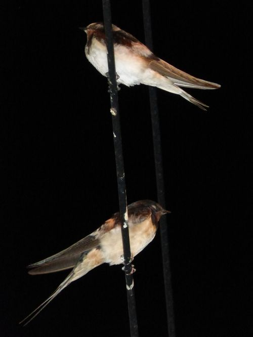 swallows cables sleep