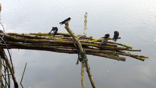 swallows birds branch