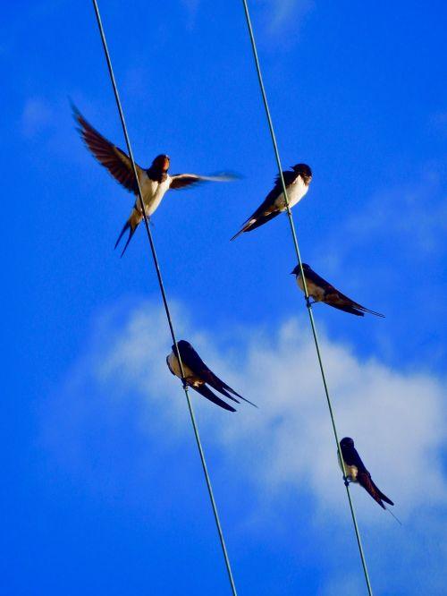 swallows sky birds
