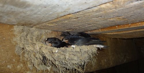 swallows nest in the nest