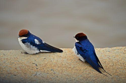 swallows birds africa