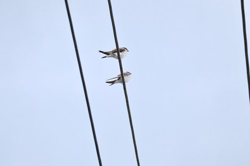 swallows  swarm  power cable