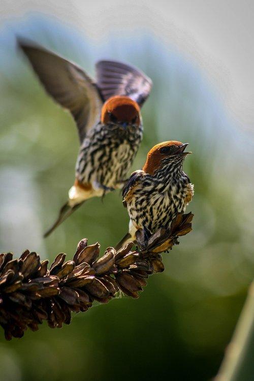 swallows  birds  wildlife