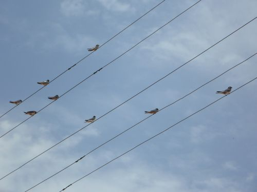 swallows power lines lines
