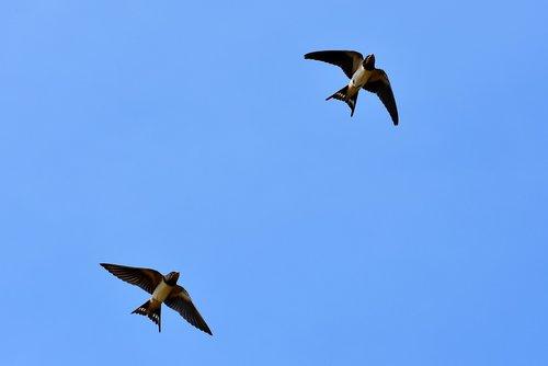swallows  songbirds  barn swallow