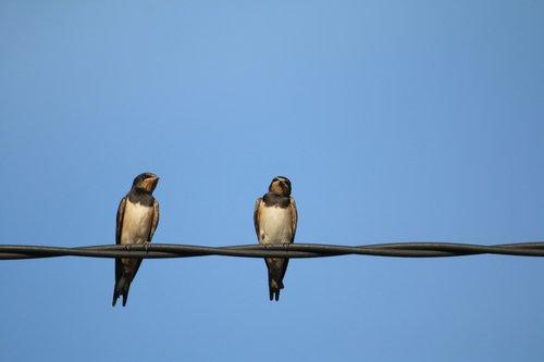 swallows  birds  nature