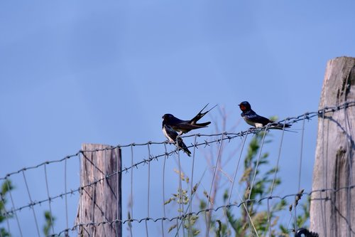 swallows  swallow  bird