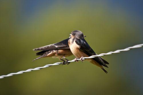 swallows birds fauna