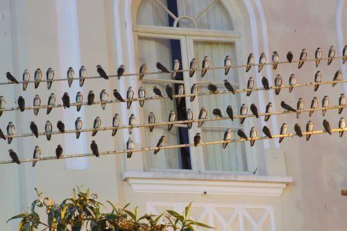 swallows birds wire