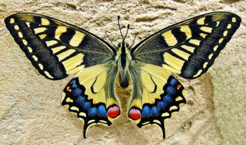 drugelis, nuryti & nbsp, dangtelis & nbsp, drugelis, vabzdys, gamta, swallowtail, spalvinga, geltona, juoda, klaida, laukinė gamta, lepidoptera, sparnai, lazdelės drugelis
