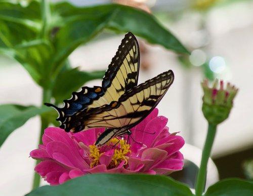 swallowtail butterfly  butterflies  swallowtail