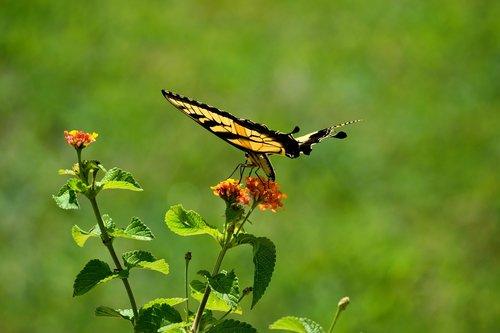 swallowtail butterfly  flying  butterfly garden