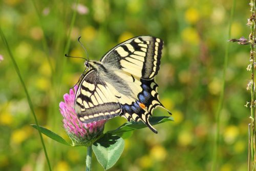swallowtail butterfly swallowtail butterflies papilio machaon
