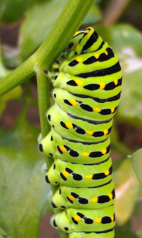 swallowtail caterpillar green caterpillar caterpillar