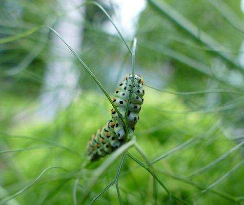 swallowtail caterpillar butterfly caterpillar stage of development