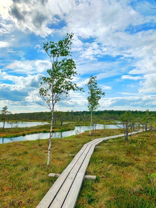 swamp  birch  pond