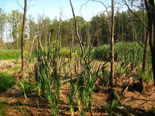swamp tree marsh