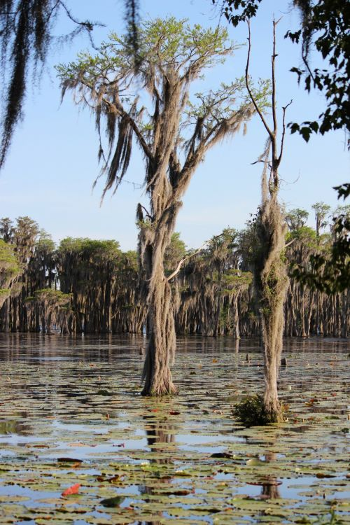 Swamp Cypress Trees