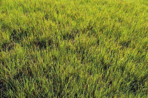 swamp grass wetland marsh