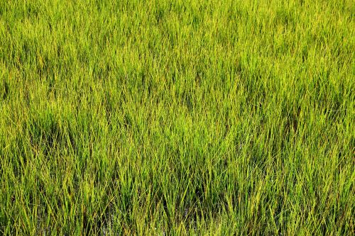 swamp grass wetland marshland