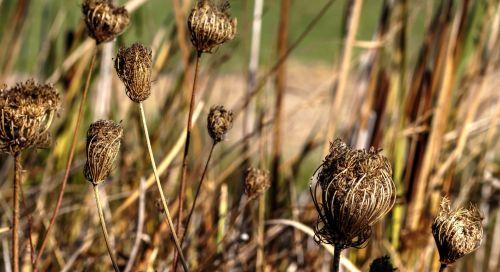 Swamp Grass Pods