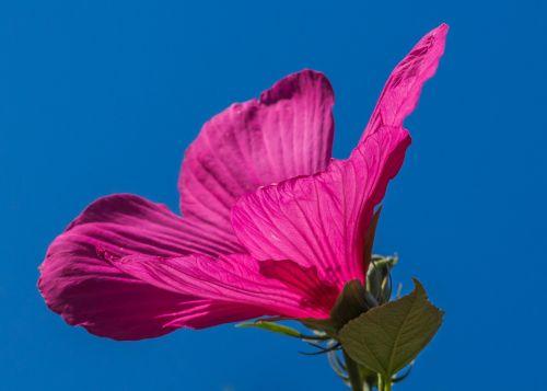 swamp hibiscus pink flower