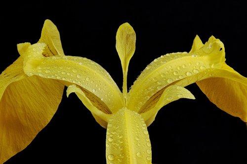 swamp iris  close up  macro