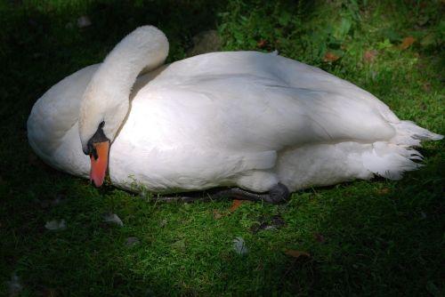 swan rest nap