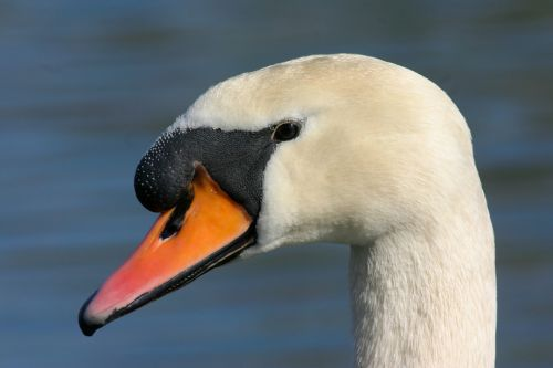 swan mute swan water bird