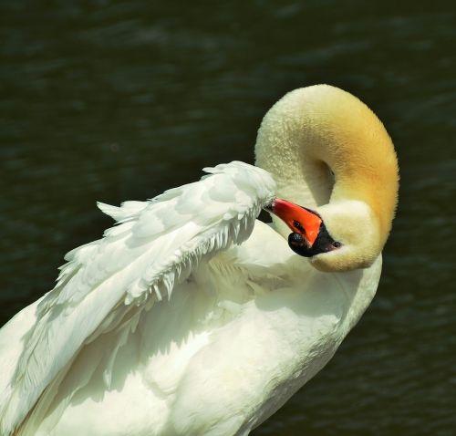 swan plumage clean