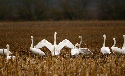 gulbė,paukštis,migruojanti paukštis,whooper gulbis,paukščių pulkai,gulbės,vandens paukštis,paukščiai