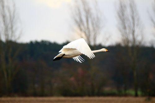 swan whooper swan bird
